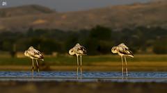 Greater Flamingos (S.M. Ali Javed) Tags: pakistan light wild lake bird nature last flickr wildlife birding flamingos waterbird ali greater wwf shah javed natgeo wildbirds uchali
