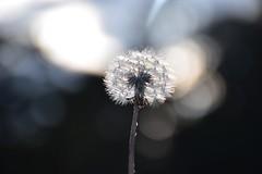 Diente de Len (Fililla) Tags: flower macro nikon bokeh flor science dandelion dientedelen taraxacumofficinale flickrfriday achicoriaamarga d5500 nikond5500