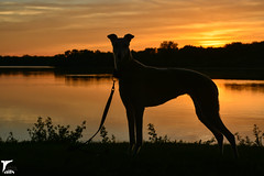 The Remains Of The Day -- Explored (houndstooth4) Tags: dog greyhound bunny ddc odc 2352 day153366 52weeksfordogs dogchal 366the2016edition 3662016 1jun16