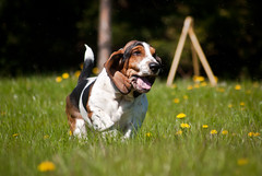 (wscieklik) Tags: dog happy hound running basset rocher tricolour