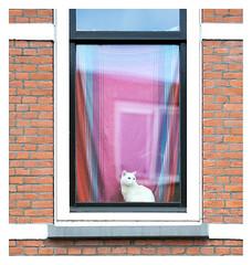 Portrait of a cat (leo.roos) Tags: pet window cat lens prime rotterdam kat cosina fl poes challenge cv raam day125 focallength primes lenzen katendrecht dyxum a99 darosa brandpuntsafstand voigtlandermacroapolanthar12525sl leoroos dayprime dayprime2016