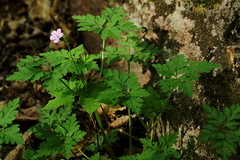 Along the Eardley Escarpment. (DrewOtt) Tags: pink canada nature forest qubec gatineau wildflower gatineaupark parcdelagatineau