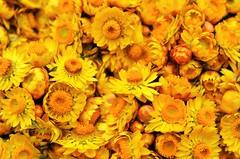 Yellow Flower (Smevin Paul - Thrisookaran !! www.smevin.com) Tags:  india flower yellow paul photography tamil ooty nadu smevin smevins thrisookaran