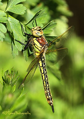 Hairy Hawker (James Lees Photography) Tags: nature insect spring dragonfly wildlife gloucestershire wetlands britishwildlife slimbridge flyinginsect 2016 hairydragonfly hairyhawker