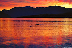 Paradise Duck Race (Kevin_Jeffries) Tags: sunset red newzealand sky lake colour reflection bird nature water animal night race landscape fire evening duck nikon flickr paradise glow dusk redsky colourful wanaka lakewanaka d90 flickrtoday southernlakes queenstownlakesdistrict