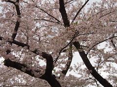 (ChihPing) Tags: japan olympus   sakura sendai   omd      em5