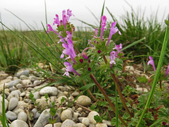 Henbit dead-nettle (aniko e) Tags: germany munich lamium lamiaceae lamiumamplexicaule taubnessel eching garchingerheide rvacsaln sngelumfassendetaubnessel brsonyosrvacsaln