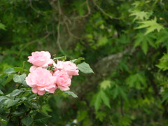 (Psinthos.Net) Tags: flowers roses nature leaves rain countryside drops spring day may valley raindrops raining planetrees treebranches aftertherain rosebush afterrain rainingday planetree pinkroses      vrisi  psinthos                psinthosvalley    vrisiarea   vrisipsinthos