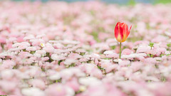 Be Different ... (Colin_Evans) Tags: uk england flower london garden different pastel capital single tulip whitehall ref