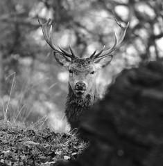 Studley Stag (hanley27) Tags: stag yorkshire deer l f56 reddeer canon400mm studleyroyaldeerpark