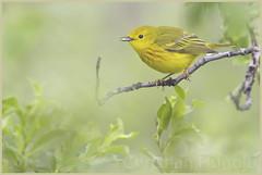 yellow warbler (Christian Hunold) Tags: bird alaska nome warbler songbird yellowwarbler woodwarbler anvilmountain sewardpeninsula christianhunold gelbwaldsnger