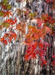 Aussie Autumn (Pwa25) Tags: autumn red gum australia victoria gumtree macedon