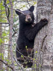 Just Hanging Around (sdl39hogger) Tags: winter wisconsin blackbear nationalgeographic ursusamericanus nationalwildlifefederation sawyercounty northwestwisconsin photoofthedaynwf16
