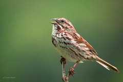 Song Sparrow (SimontheTanner) Tags: wild green bird nature animal outdoors spring singing michigan birding sparrow birdwatching andrewsuniversity berriensprings songbird songsparrow puremichigan