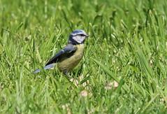 Down in the grass. (aitch tee) Tags: nature birds colours bluetit smallbirds songbird walesuk cyanistescaeruleus rhoose bbcwalesnature