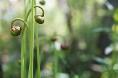 Pair of mountain sweet pitcher plant flower heads at Riverbend CPA (USFWS/Southeast) Tags: plant bogs pitcher usfishandwildlfieservice