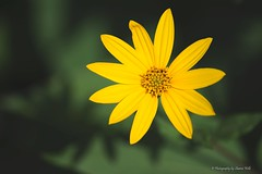 ????? (Sharon Wills) Tags: flowers plants plant flower macro nature yellow gardens flora adelaide botanic adelaidebotanicgarden