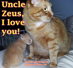 Grandpaw Zeus with Adonis (youtube.com/utahactor) Tags: cat mackerel ginger kitten tabby zeus gato blonde adonis tomcat friendsofzeusandphoebe gingerkittiesfour