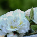 "2016_06_19_Victorian_Rose_Walk_Malines-64 • <a style=""font-size:0.8em;"" href=""http://www.flickr.com/photos/100070713@N08/27184419543/"" target=""_blank"">View on Flickr</a>"