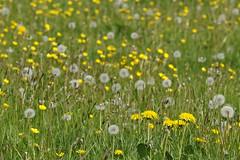 Photo of Dandelions & Buttercups