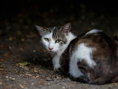 Street cat 138 (Yalitas) Tags: pet cats cat canon kat feline chat kitty gato felino katze katzen kot kedi kass gatta streetcat kotka  kocka  katte  katzchen kottur