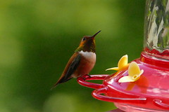 P1230141 (ultomatt) Tags: bird nature beautiful birds hummingbird natural flight fowl naturalbeauty naturally
