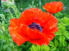"""""""Children are love made visible""""  -  American Proverb (Trinimusic2008 -blessings) Tags: toronto ontario canada flower nature leaves dedication poppy to peggy foilage today trinimusic2008 judymeikle"""