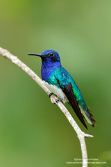 White-necked Jacobin, Panama (www.juancarlosvindasphoto.com) Tags: pictures portrait cute green expedition nature birds animal forest canon landscape outdoors landscapes waterfall toucan ecuador rainforest costarica photographer tour hummingbird photos unique wildlife small stock fulllength large gear amphibian nobody aves frog workshop tropical getty endangered cloudforest multicolored sideview biology mammals endemic birdwatching treefrog reptiles centralamerica poisonous protected biodiversity wildanimals rm multiflash distinctive animalsinthewild tropicalbirds frontalview birdphotography tropicaldryforest colibris rightsmanaged portraitmode colibries leaffrog juancarlosvindas neotropicbirds neotropicwildlife