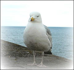Inquisitive Gull ... (** Janets Photos **) Tags: uk seagulls coast seaside piers avian seabirds bridlington harbours eastyorkshire seawalls