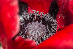 poppy (NSJW photos) Tags: red macro closeup fluffy seedhead stamen poppy cultivated nsjwphotos