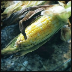 Grilled Corn on the Cob (swanksalot) Tags: vegetables grill