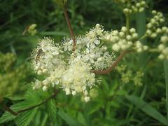 Unterwegs an der Limmat (Priska B.) Tags: wasser pflanzen wiese blumen zrich fluss limmat wespe kanton dietikon mauerwespe