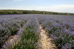 Lavender field  (MelindaChan ^..^) Tags: china plant flower field purple lavender mel  melinda ili xingjiang       chanmlemel melindachan