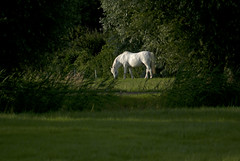 Horse Paard (Peteralexander7) Tags: horse paard wit white light composition compositie licht