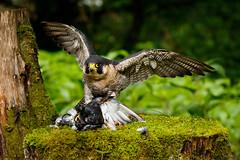 Mine! (zarlock81) Tags: birds scotland wildlife falcon balloch lochlomond peregrine schottland peregrinefalcon falcoperegrinus wanderfalke vereinigtesknigreich