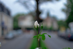 Street Rose Bokeh (Lens a Lot) Tags: auto street blue white paris flower green field rose 35mm vintage lens bokeh mount mc h german m42 manual f18 depth prim | weitwinkel 2016 porst