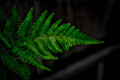 Fern (Ron Riggs) Tags: