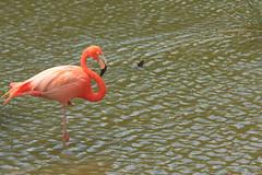 Side portrait (iorus and bela) Tags: pink holiday bird flamingoes flamingo cuba bela ecovillage 2016 lasterrazas iorus