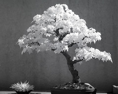 DSC_3916s (An Xiao) Tags: arboretum bonsai penjing