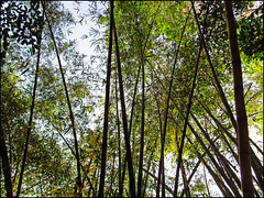 bambooforest (WiLL CWK) Tags: tree green nature forest landscape photography woods earth bamboo tees