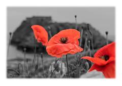 ST CATHERINES ISLAND (mark_rutley) Tags: pembrokshire wales poppy poppies blackandwhite colourpop selectivecolour mono frame st catherines island