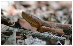 Northern Copperhead - Carbon County (PA) (BROAD-WINGED BIRDING) Tags: july snakes copperhead 2016 carboncounty herping northerncopperhead