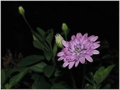 Cape Rain Daisy (Osteospermum) (MaxUndFriedel) Tags: summer plant flower beauty night garden season blossom daisy osteospermum