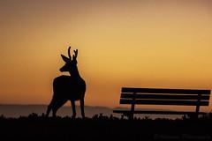 Deer Silhouette at Sunrise (Akhyna) Tags: california animal silhouette sunrise bench dawn monterey pacific deer pacificgrove