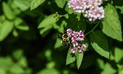 busy bee (Dotsy McCurly) Tags: busy bee pink spirea bush wings bokeh dof nature beautiful nikon d750 nj