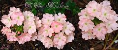 Pink (Lynn English) Tags: pink garden droplets