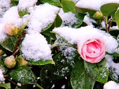 Return of Winter 01 (MJWoerner49) Tags: winter snow flower ice spring blossom april camellia wintery kamelie springblossoms blosoms camelliajaponica icecrust roseofwinter