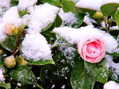 Return of Winter 01 (MJWoerner49) Tags: winter snow flower ice spring blossom april camellia wintery kamelie springblossoms blosoms camelliajaponica icecrust roseofwinter