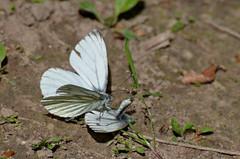 Naeriliblikas; Pieris napi; Green-veined White (urmas ojango) Tags: butterfly insects lepidoptera insecta pieridae putukad liblikalised pualibliklased
