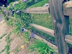 Always a fence somewhere<>Il y a toujours une clture quelque part. (France-) Tags: wood fleur fence clematis washingtonstate colfax bois clture 959 clmatite cloture